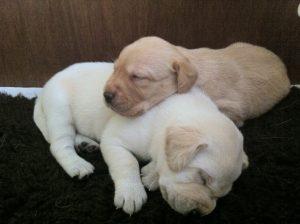 Cute white puppies sleeping