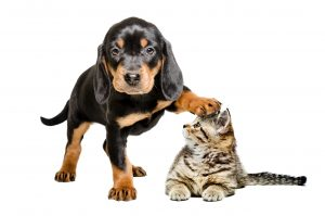 Puppy breed Slovakian Hound standing with paw on the head of a cat Scottish Straight