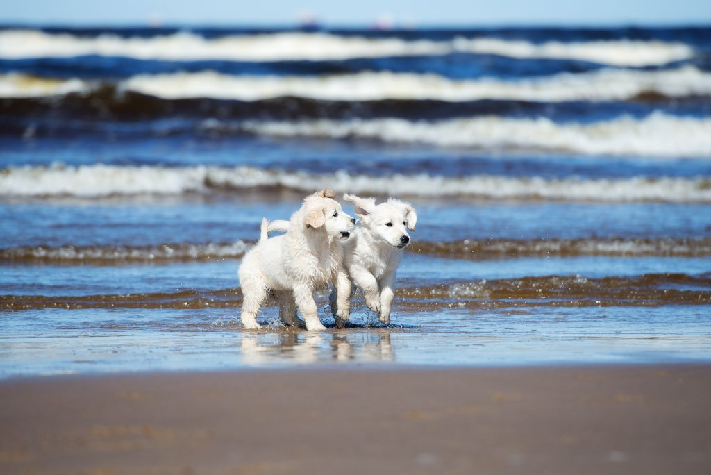 golden retriever puppies play on beach